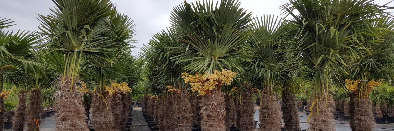 winterharte palmen f r den garten und balkon aus nordspanien. Black Bedroom Furniture Sets. Home Design Ideas