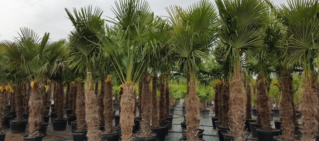 Palmen Verkauf Hannover